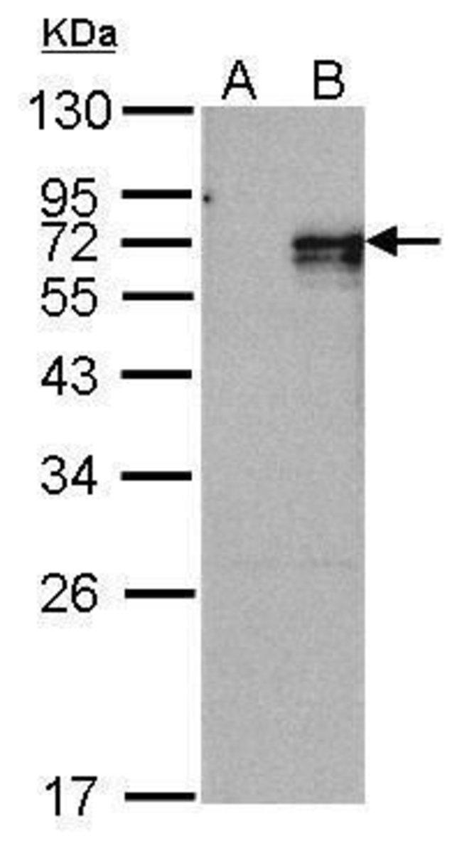 NR4A1 Rabbit anti-Human, Mouse, Polyclonal, Invitrogen 100 µL; Unconjugated