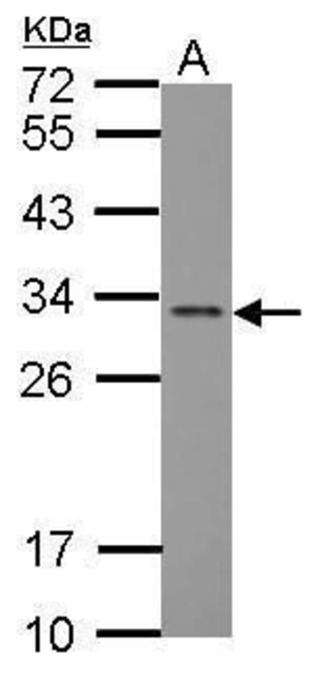 FGF13 Rabbit anti-Human, Mouse, Rat, Polyclonal, Invitrogen 100 µL;