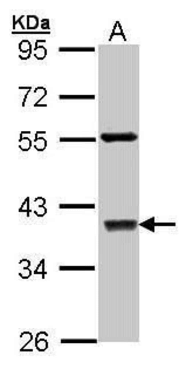 c-Jun Rabbit anti-Human, Polyclonal, Invitrogen 100 µL; Unconjugated