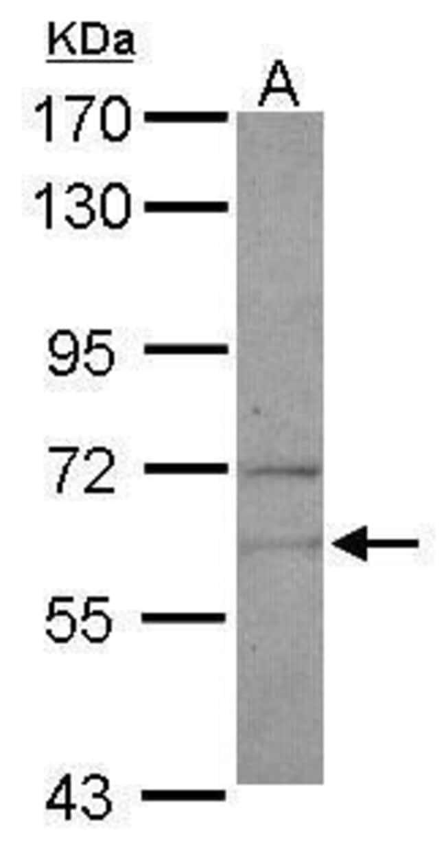 NARS Rabbit anti-Human, Mouse, Polyclonal, Invitrogen 100 µL; Unconjugated