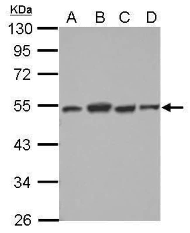 DTNBP1 Rabbit anti-Human, Polyclonal, Invitrogen 100 µL; Unconjugated