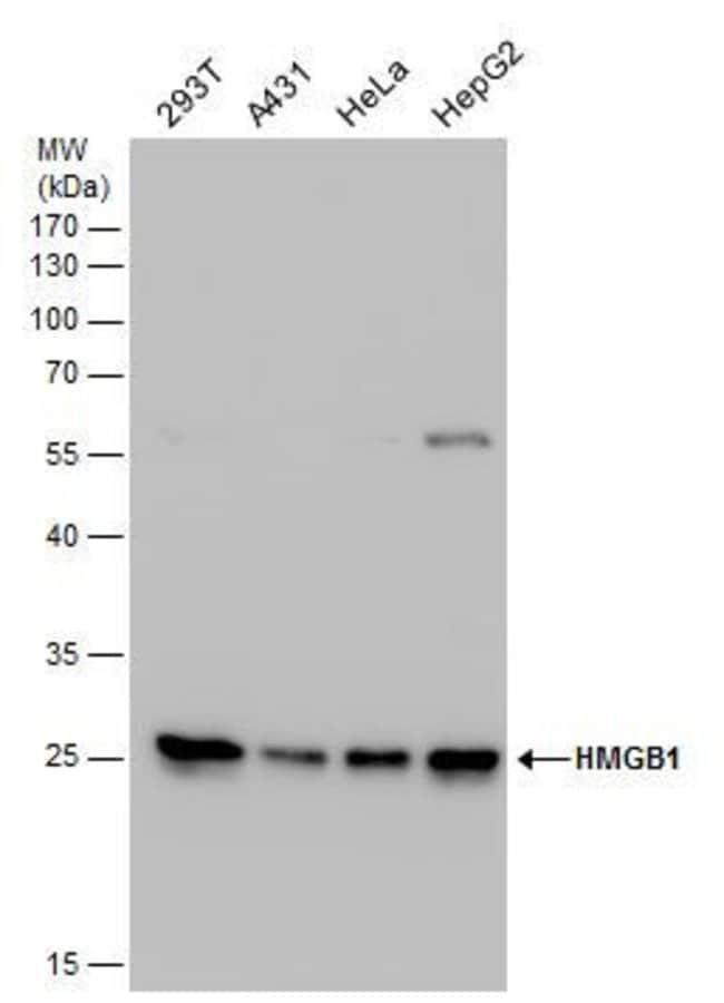 HMGB1 Rabbit anti-Human, Mouse, Rat, Polyclonal, Invitrogen 100 µL;