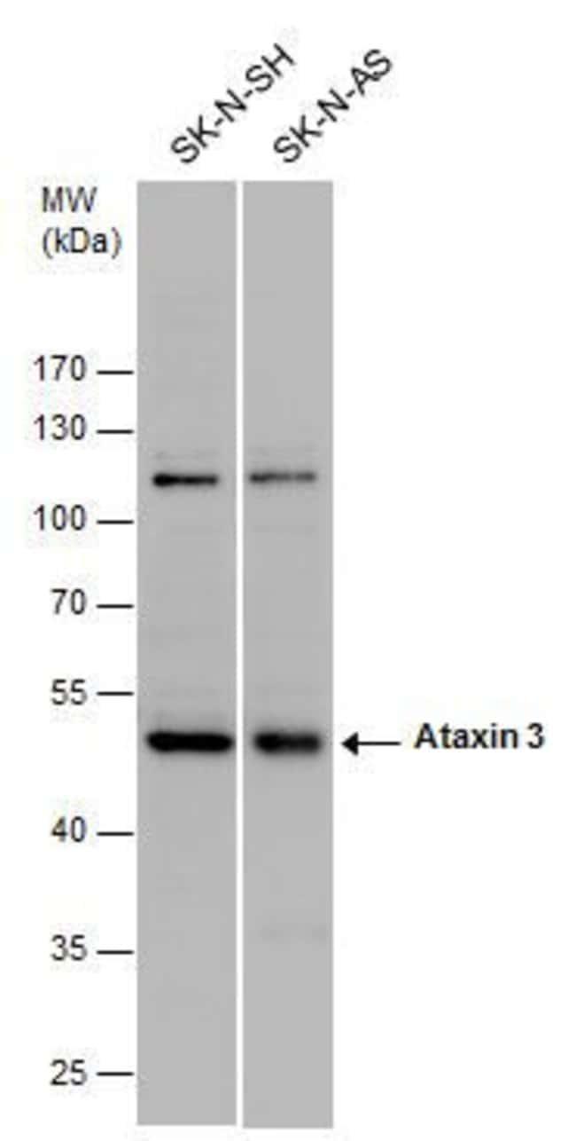 Ataxin 3 Rabbit anti-Human, Polyclonal, Invitrogen 100 µL; Unconjugated