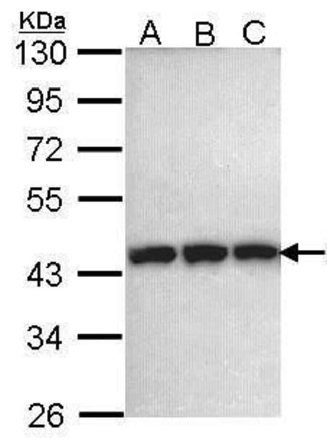 PGK1 Rabbit anti-Human, Mouse, Polyclonal, Invitrogen 100 µL; Unconjugated