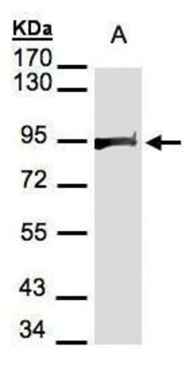 HSP90 beta Rabbit anti-Human, Mouse, Rat, Polyclonal, Invitrogen 100 µL;