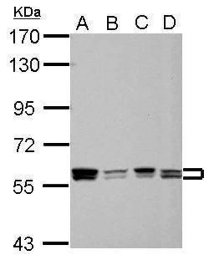 hnRNP A1 Rabbit anti-Human, Polyclonal, Invitrogen 100 µL; Unconjugated