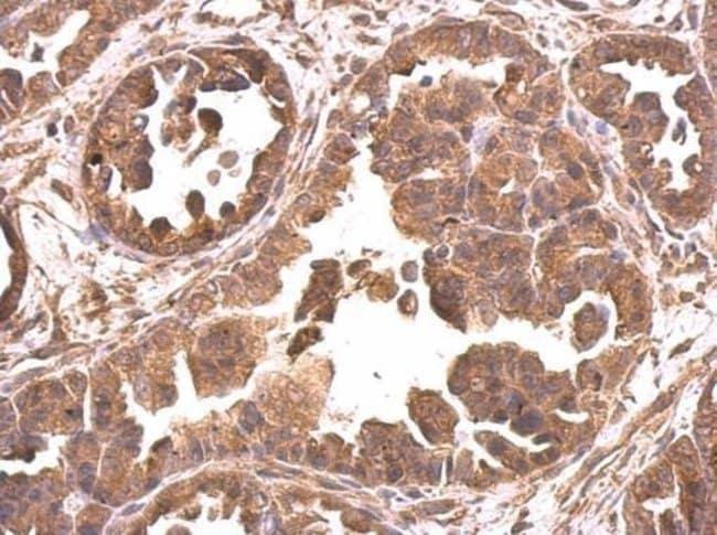 eIF4A2 Rabbit anti-Human, Polyclonal, Invitrogen 100 µL; Unconjugated