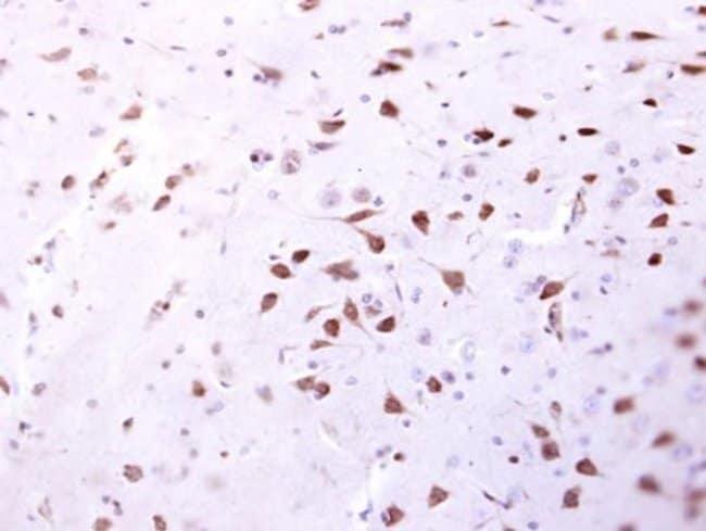 ENSA Rabbit anti-Human, Mouse, Rat, Polyclonal, Invitrogen 100 µL;