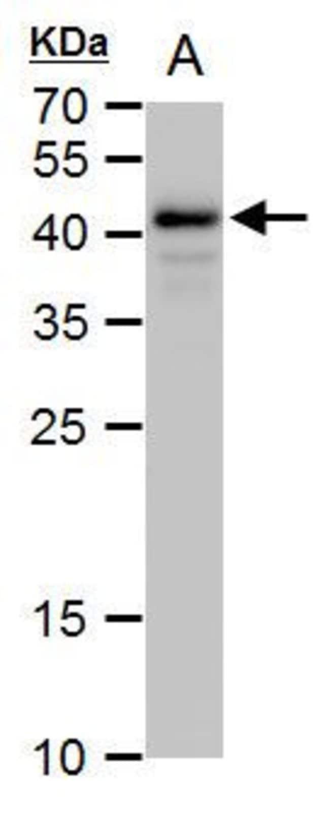 OCT4 Rabbit anti-Human, Mouse, Polyclonal, Invitrogen 100 µL; Unconjugated