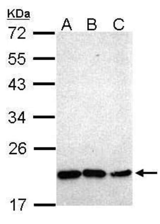Nkx2.8 Rabbit anti-Human, Polyclonal, Invitrogen 100 µL; Unconjugated
