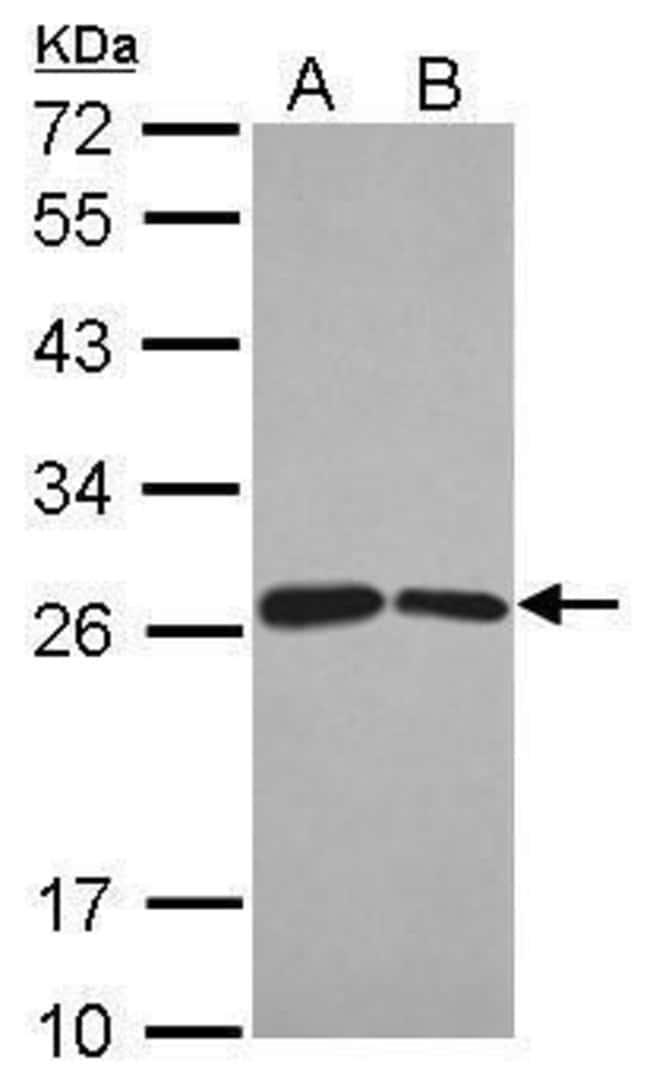 BUD31 Rabbit anti-Human, Polyclonal, Invitrogen 100 µL; Unconjugated