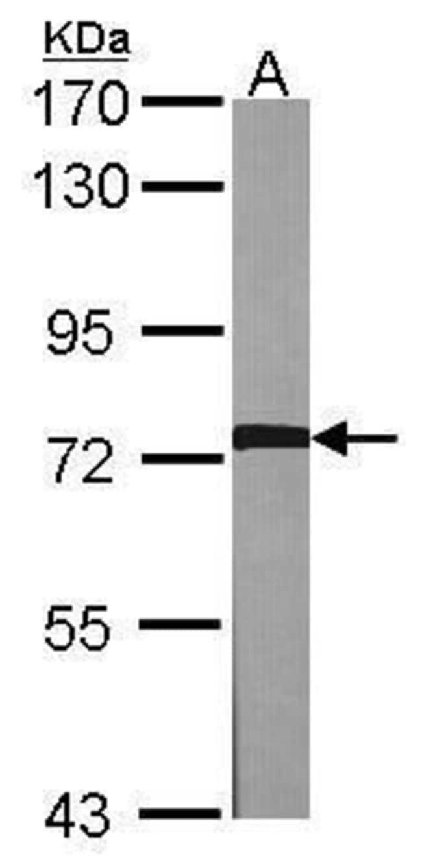 GRK2 Rabbit anti-Human, Mouse, Polyclonal, Invitrogen 100 µL; Unconjugated