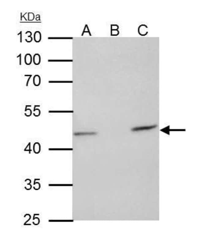TUFM Rabbit anti-Human, Polyclonal, Invitrogen 100 µL; Unconjugated