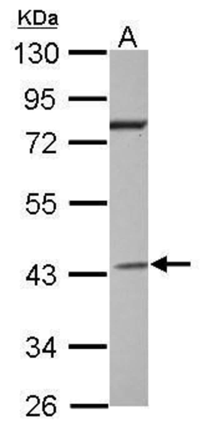 GNAI2 Rabbit anti-Human, Polyclonal, Invitrogen 100 µL; Unconjugated
