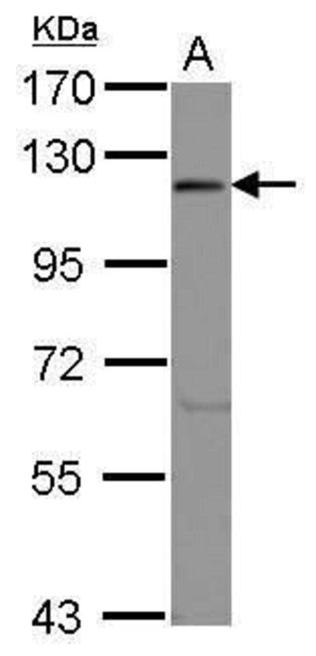eIF3c Rabbit anti-Human, Polyclonal, Invitrogen 100 µL; Unconjugated