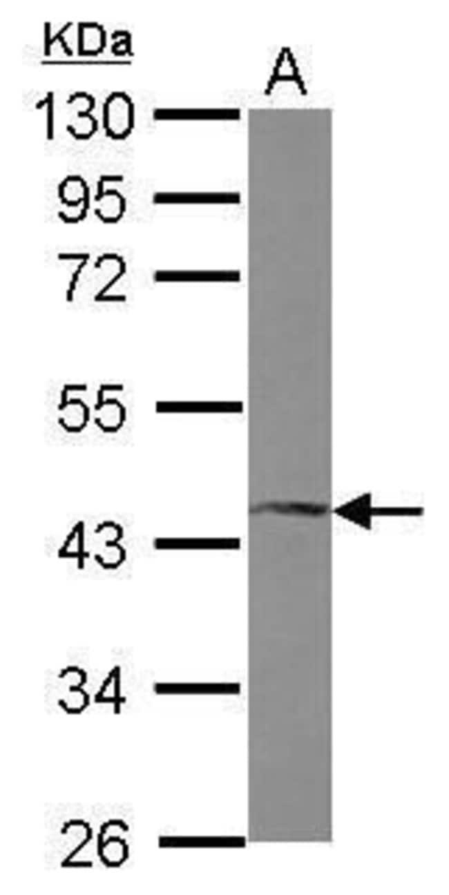 FosB Rabbit anti-Human, Mouse, Polyclonal, Invitrogen 100 µL; Unconjugated