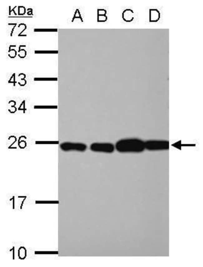 RPL29 Rabbit anti-Human, Polyclonal, Invitrogen 100 µL; Unconjugated