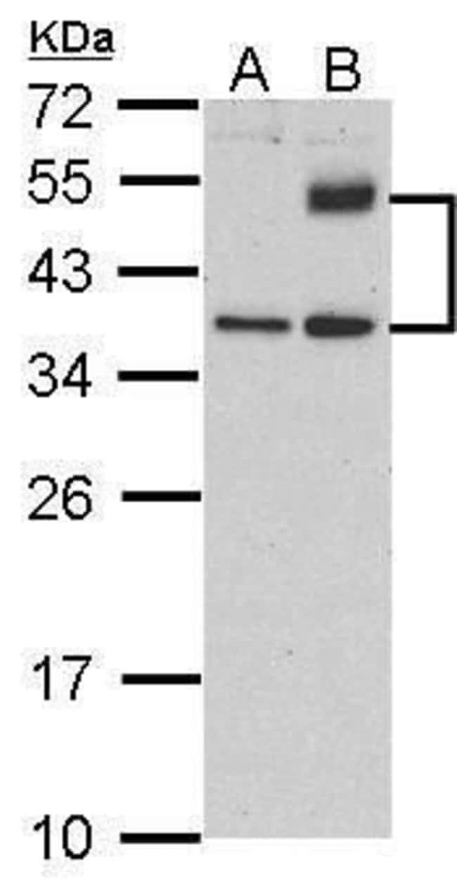 ATF4 Rabbit anti-Human, Polyclonal, Invitrogen 100 µL; Unconjugated