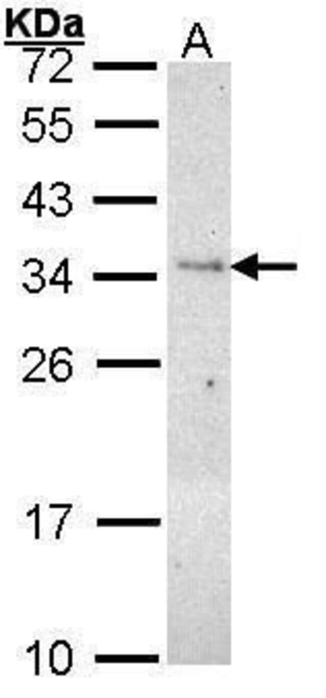 PLSCR3 Rabbit anti-Human, Mouse, Polyclonal, Invitrogen 100 µL; Unconjugated