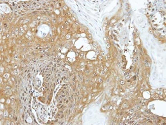 eIF3k Rabbit anti-Human, Polyclonal, Invitrogen 100 µL; Unconjugated