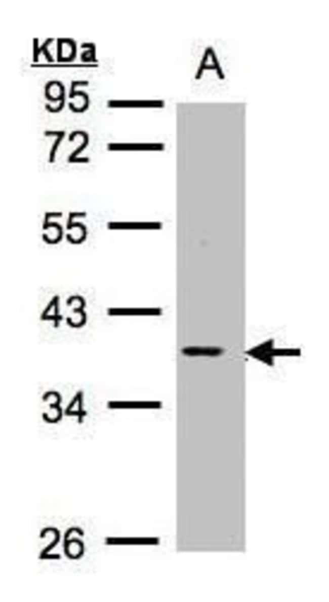 MCL1 Rabbit anti-Human, Mouse, Polyclonal, Invitrogen 100 µL; Unconjugated