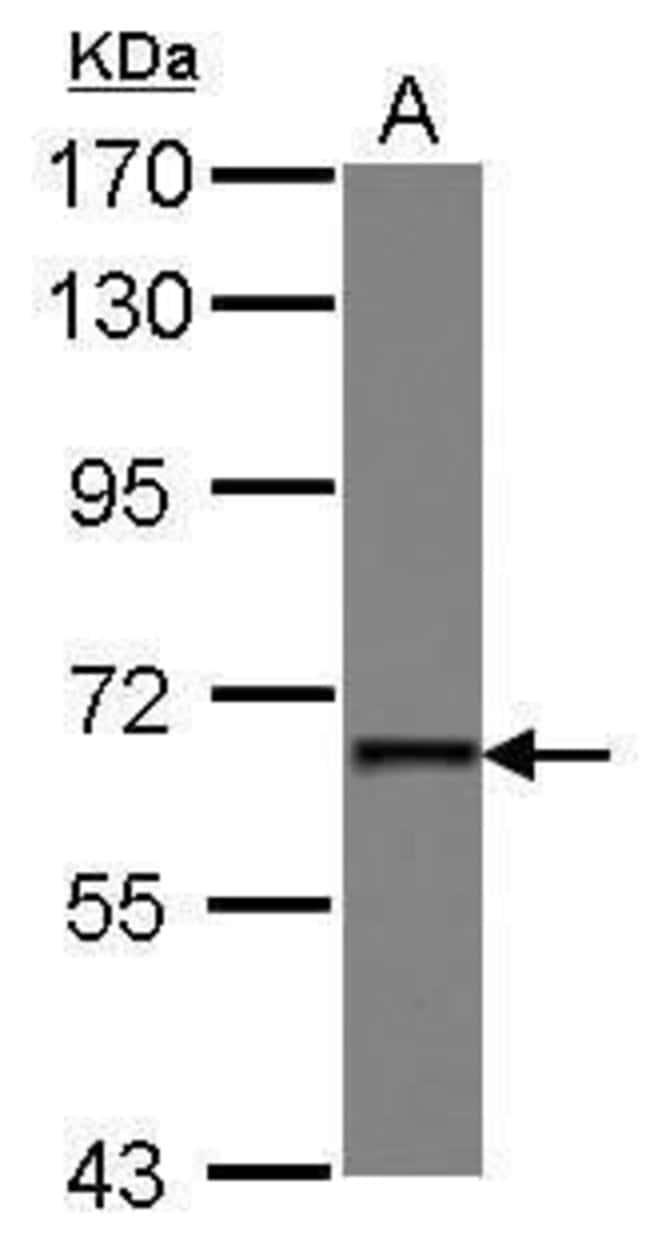 PUF60 Rabbit anti-Human, Polyclonal, Invitrogen 100 µL; Unconjugated