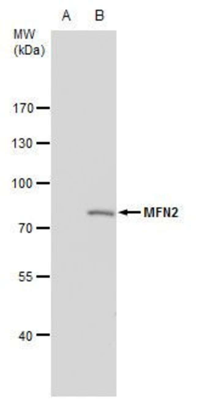 MFN2 Rabbit anti-Human, Mouse, Polyclonal, Invitrogen 100 µL; Unconjugated