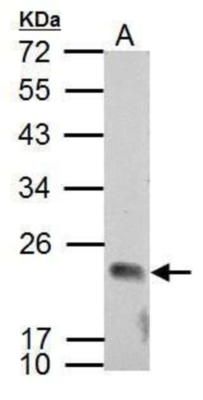 APOBEC3C Rabbit anti-Human, Polyclonal, Invitrogen 100 µL; Unconjugated