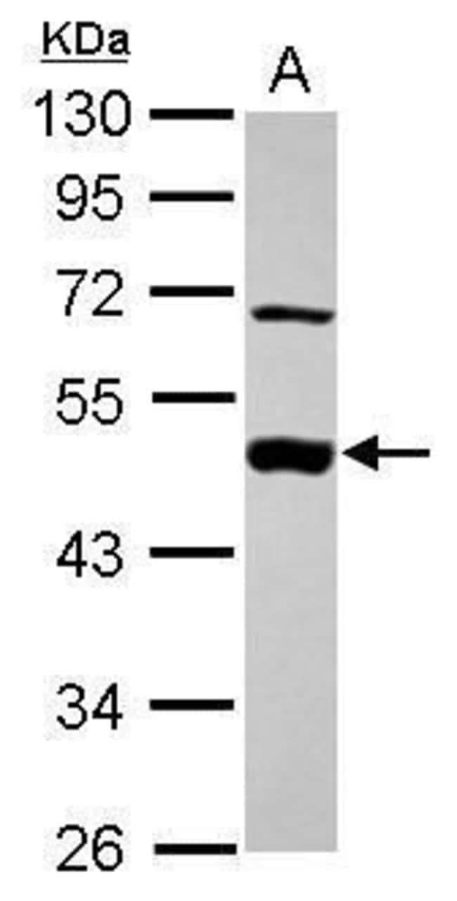 MEK2 Rabbit anti-Human, Polyclonal, Invitrogen 100 µL; Unconjugated