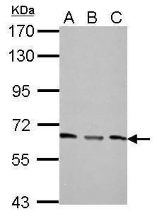 PPP2R1A Rabbit anti-Human, Mouse, Polyclonal, Invitrogen 100 µL; Unconjugated