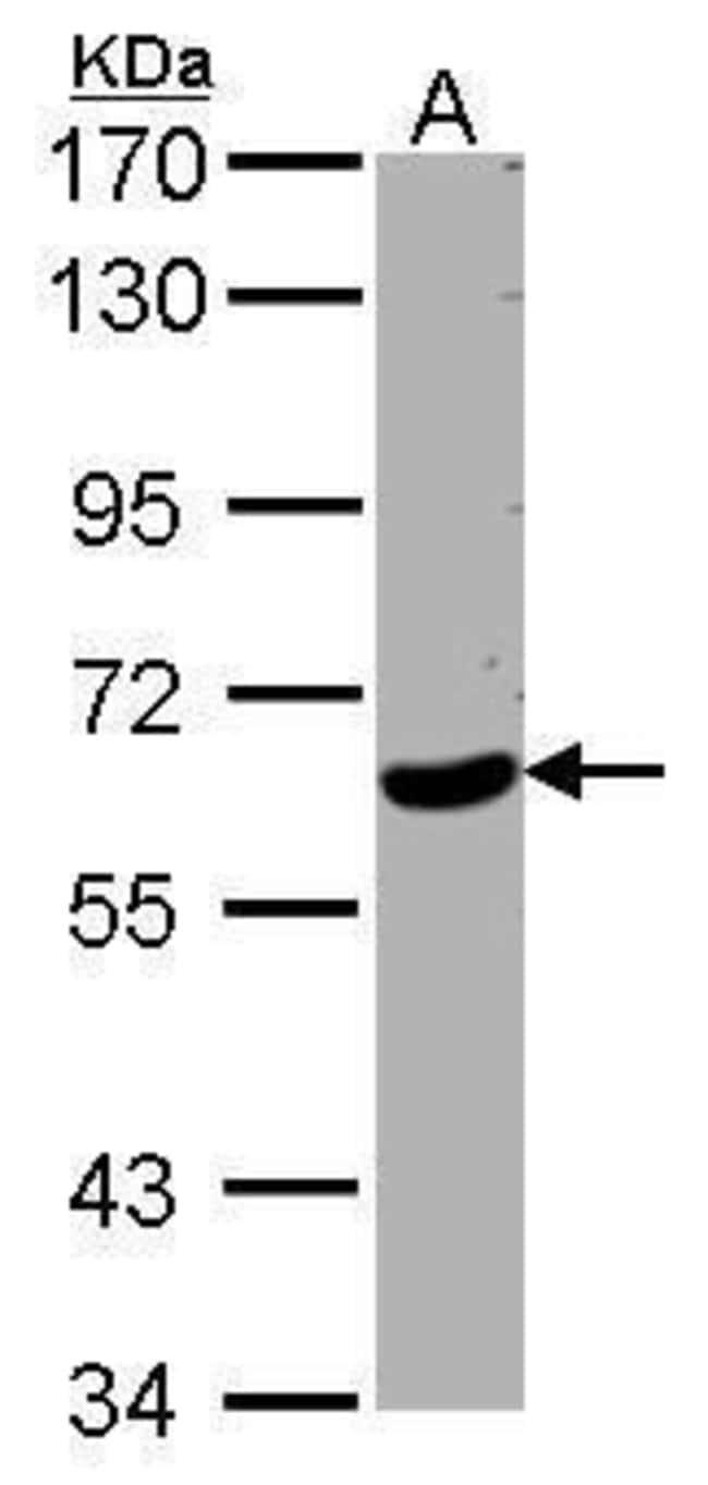 WDR1 Rabbit anti-Human, Mouse, Polyclonal, Invitrogen 100 µL; Unconjugated