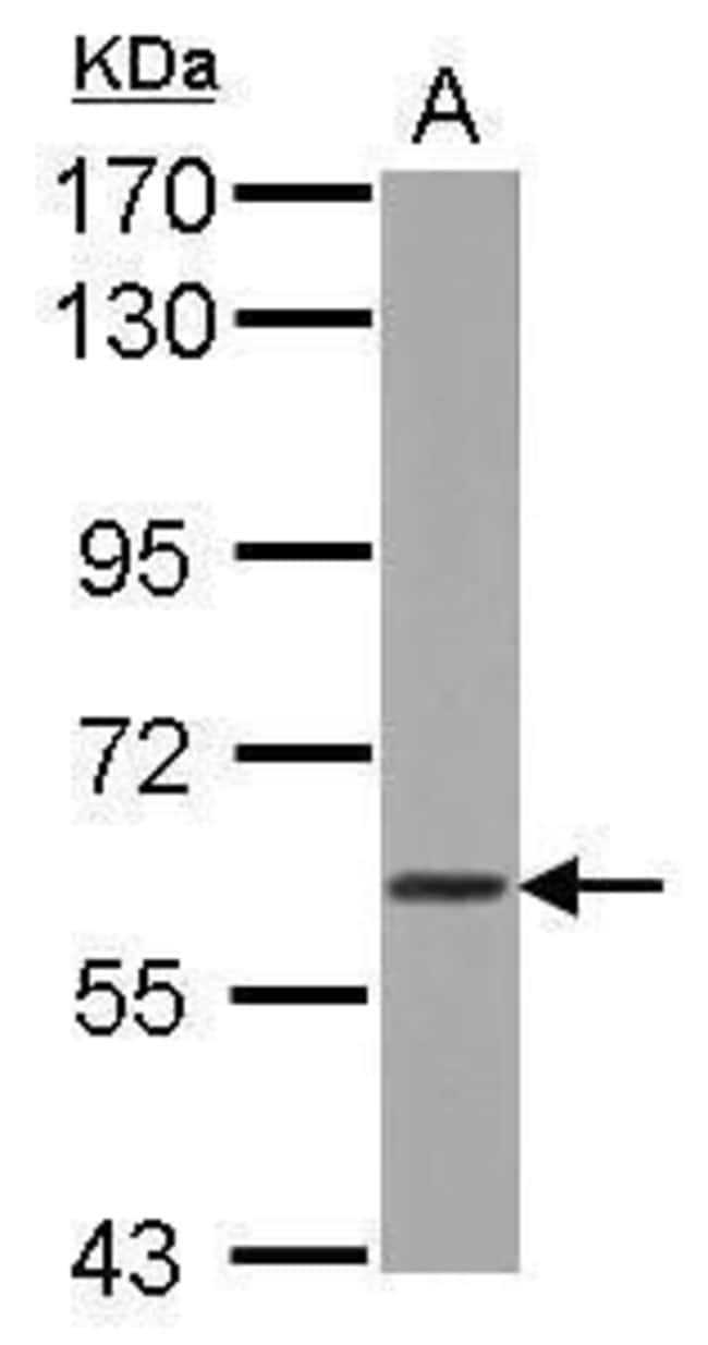 WDR1 Rabbit anti-Human, Rat, Polyclonal, Invitrogen 100 µL; Unconjugated