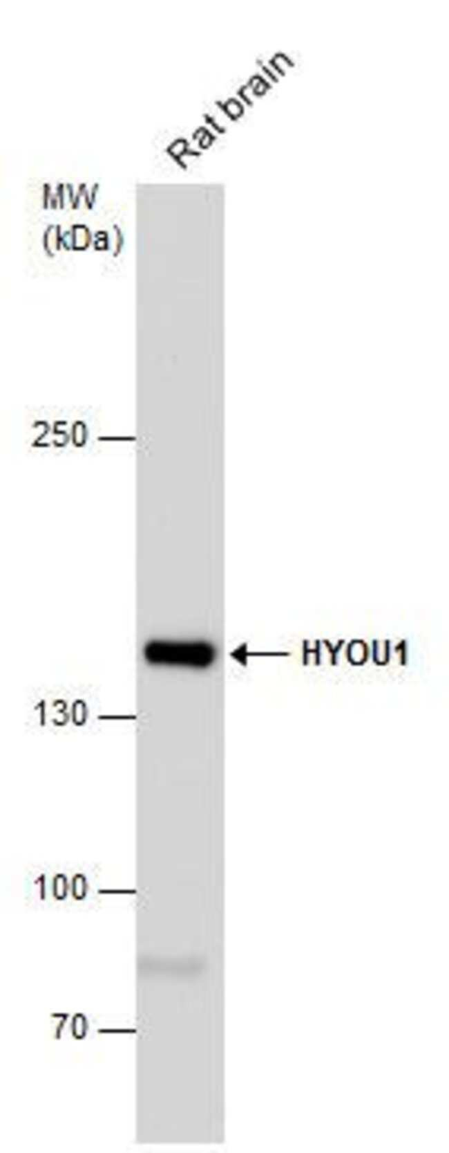HYOU1 Rabbit anti-Human, Polyclonal, Invitrogen 100 µL; Unconjugated
