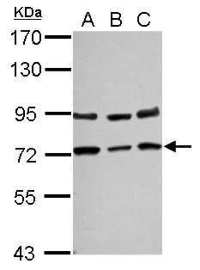 NGFR Rabbit anti-Human, Polyclonal, Invitrogen 100 µL; Unconjugated