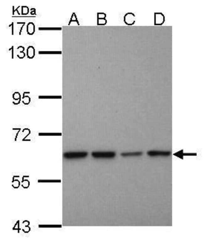 PSMD3 Rabbit anti-Human, Polyclonal, Invitrogen 100 µL; Unconjugated