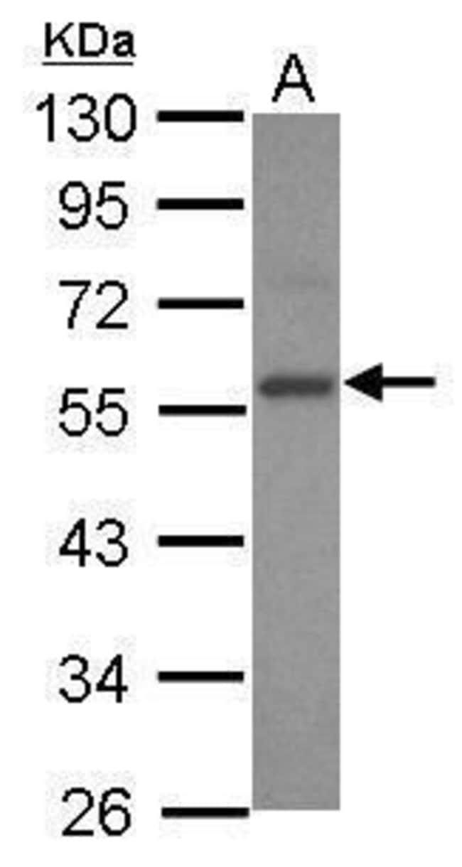 E2F3 Rabbit anti-Human, Polyclonal, Invitrogen 100 µL; Unconjugated