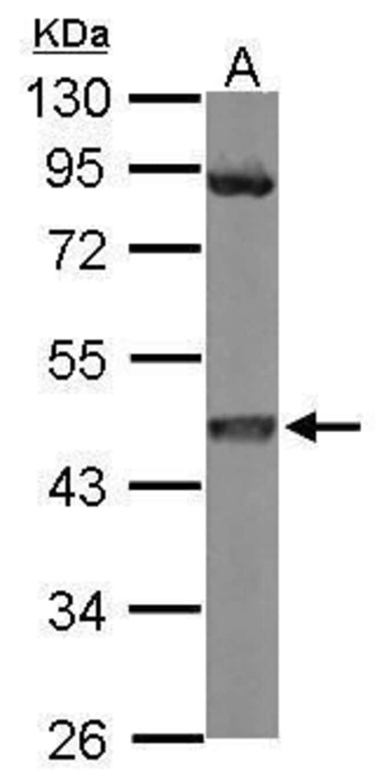 MEK1 Rabbit anti-Human, Mouse, Polyclonal, Invitrogen 100 µL; Unconjugated
