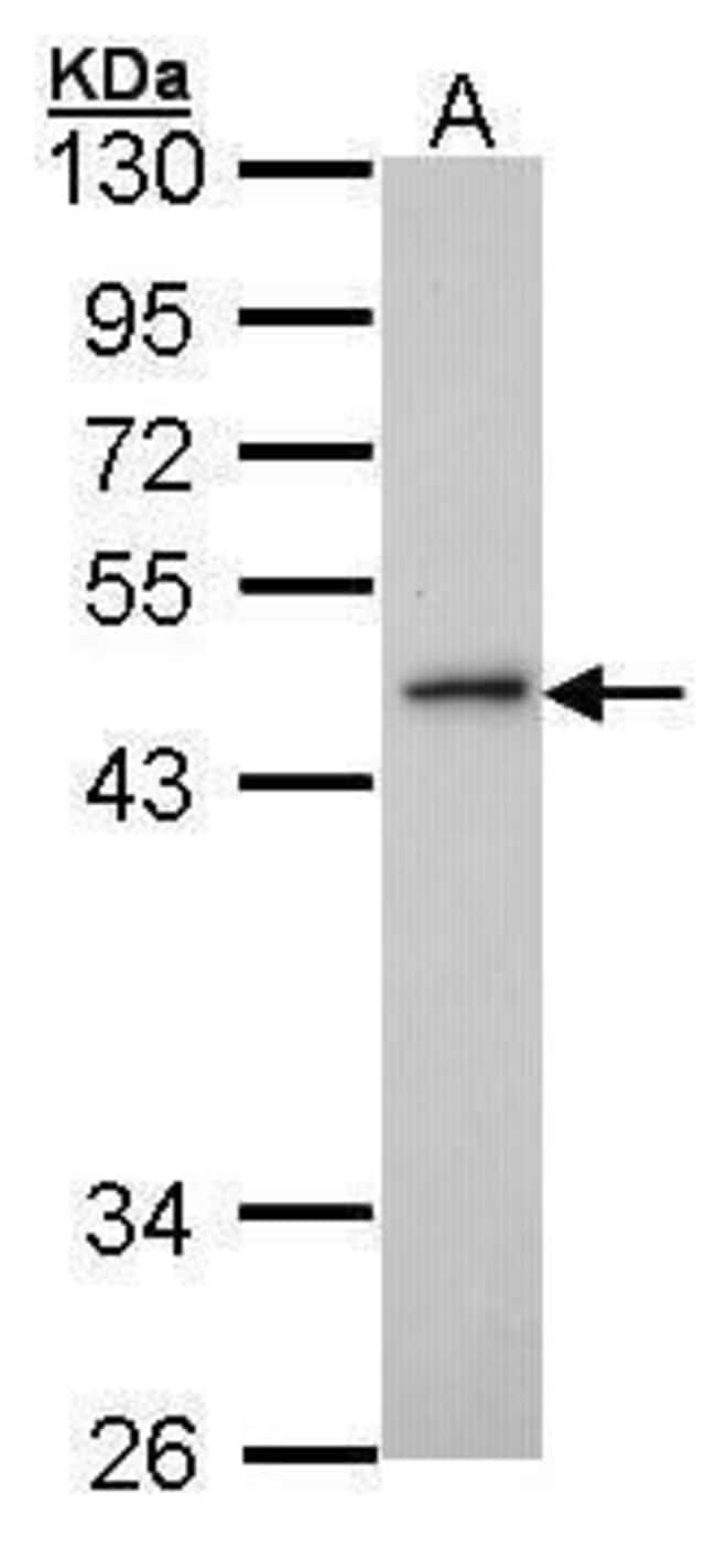 ING3 Rabbit anti-Human, Polyclonal, Invitrogen 100 µL; Unconjugated