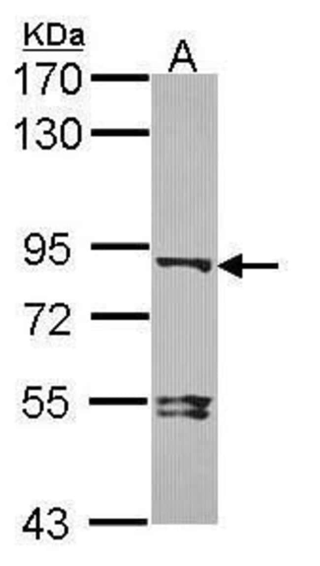 DVL3 Rabbit anti-Human, Mouse, Polyclonal, Invitrogen 100 µL; Unconjugated