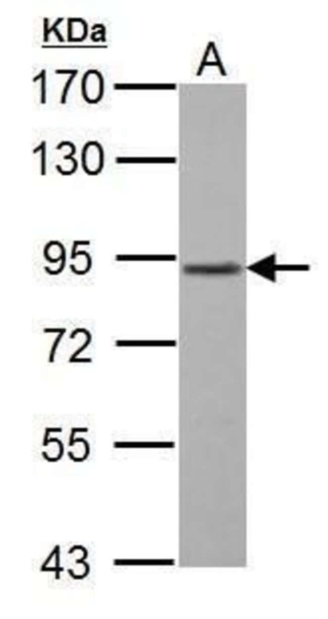 GABBR1 Rabbit anti-Human, Mouse, Polyclonal, Invitrogen 100 µL; Unconjugated