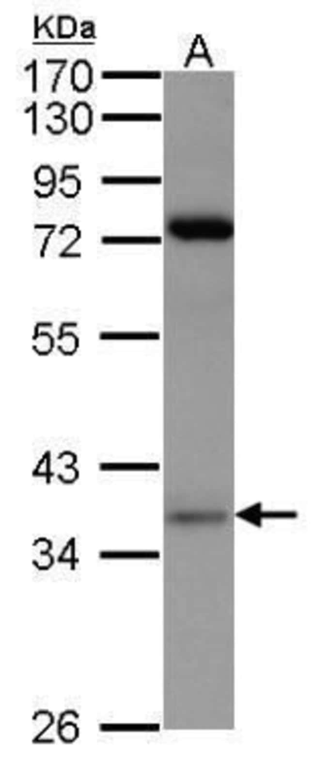 PRPS1 Rabbit anti-Human, Mouse, Rat, Polyclonal, Invitrogen 100 µL;