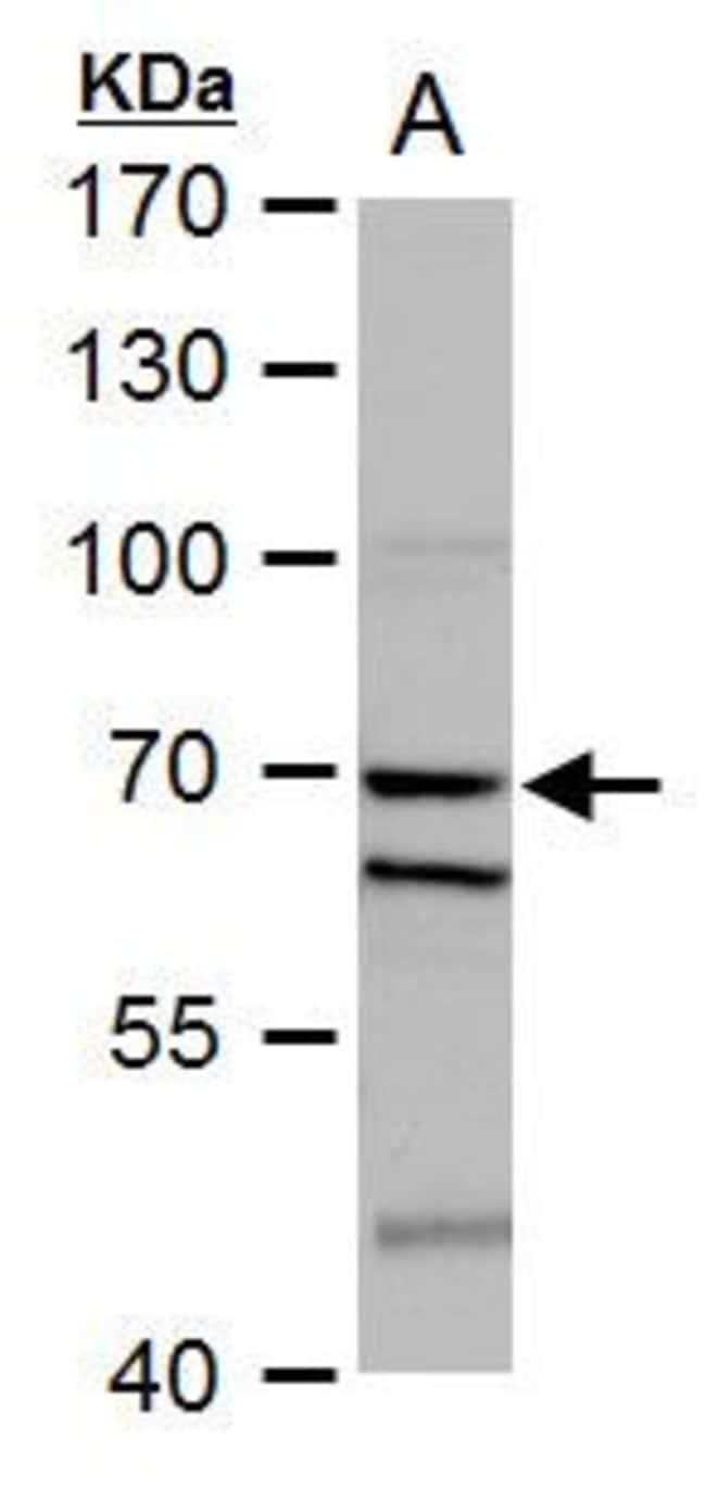 SHP-1 Rabbit anti-Human, Mouse, Polyclonal, Invitrogen 100 µL; Unconjugated