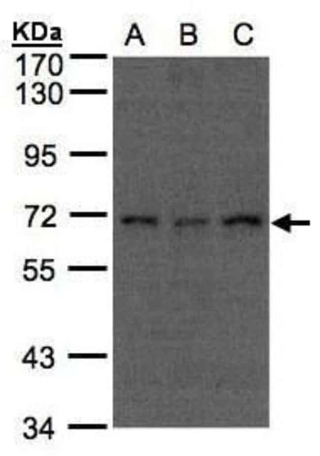 APC6 Rabbit anti-Human, Polyclonal, Invitrogen 100 µL; Unconjugated
