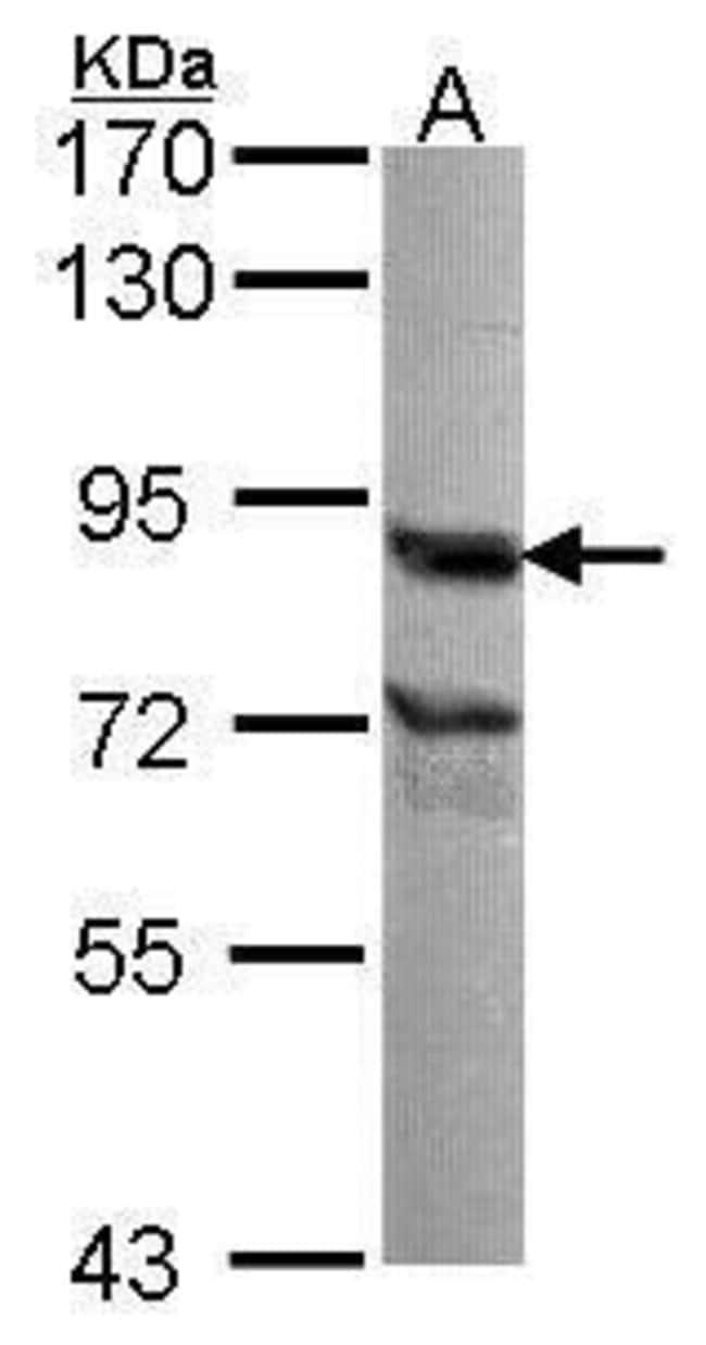 Nuclear Matrix Protein p84 Rabbit anti-Human, Mouse, Polyclonal, Invitrogen