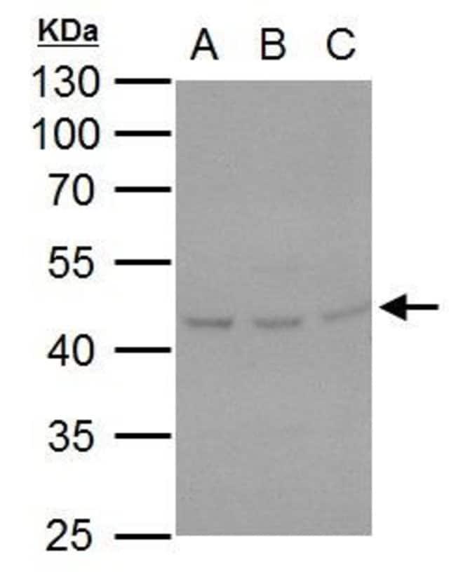 SERPINH1 Rabbit anti-Human, Mouse, Polyclonal, Invitrogen 100 µL;
