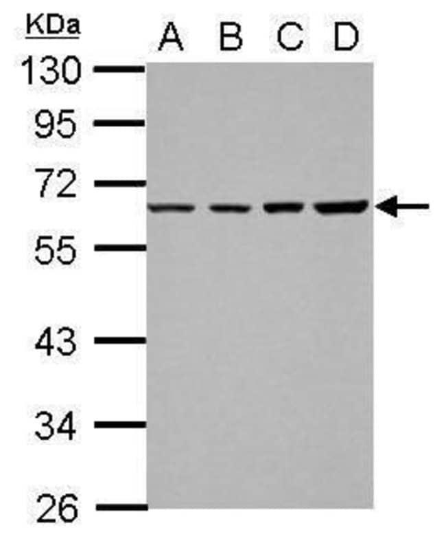 TR2 Rabbit anti-Human, Polyclonal, Invitrogen 100 µL; Unconjugated