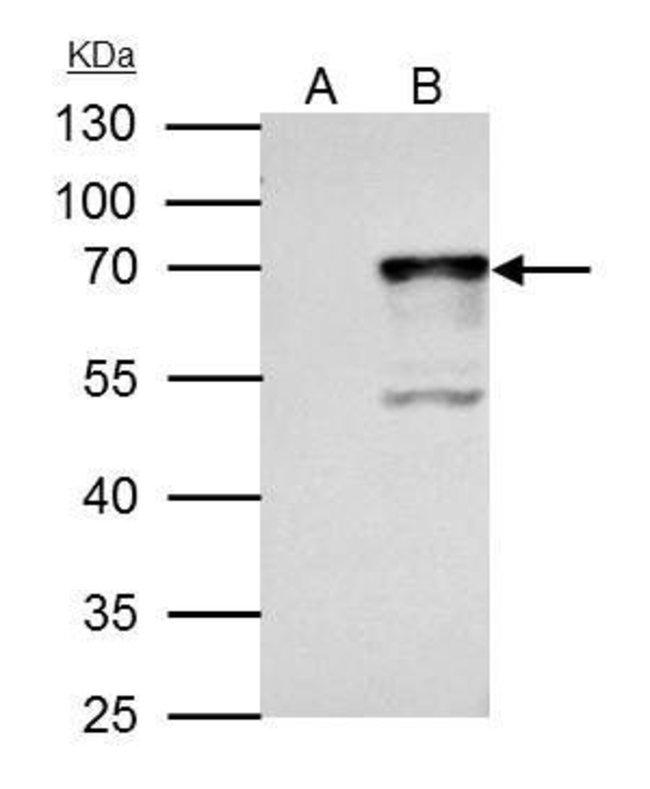 NRF1 Rabbit anti-Human, Polyclonal, Invitrogen 100 µL; Unconjugated