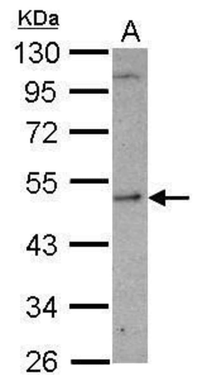 SHMT1 Rabbit anti-Human, Polyclonal, Invitrogen 100 µL; Unconjugated