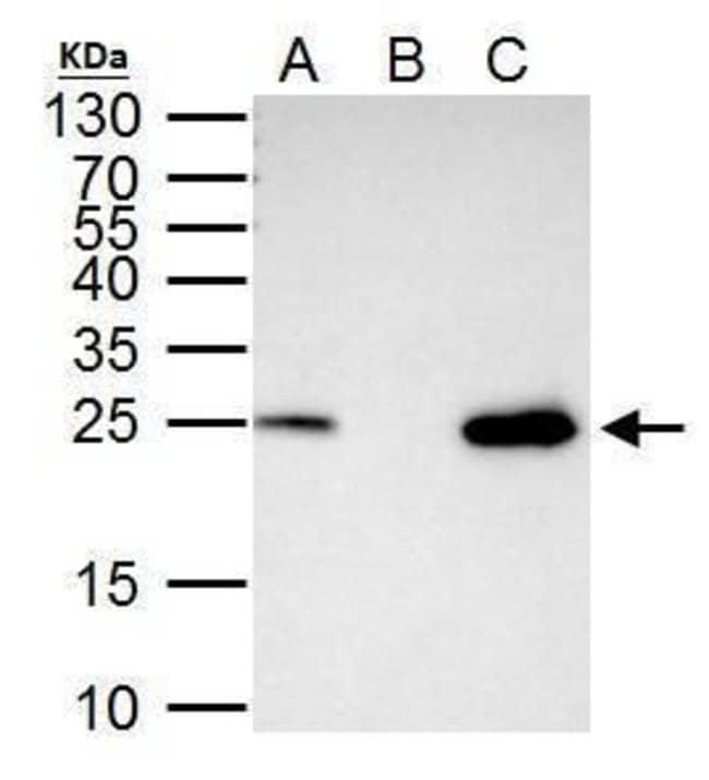 TFAM Rabbit anti-Human, Polyclonal, Invitrogen 100 µL; Unconjugated