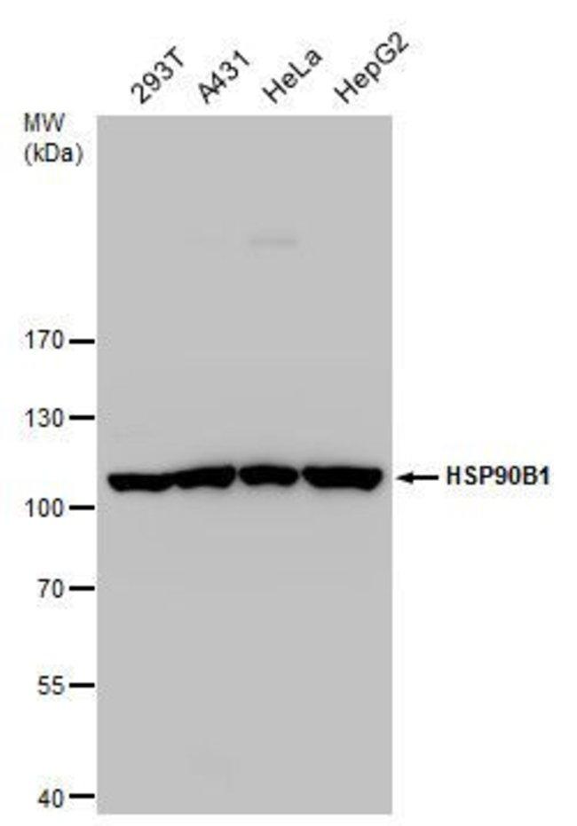 GRP94 Rabbit anti-Human, Mouse, Polyclonal, Invitrogen 100 µL; Unconjugated